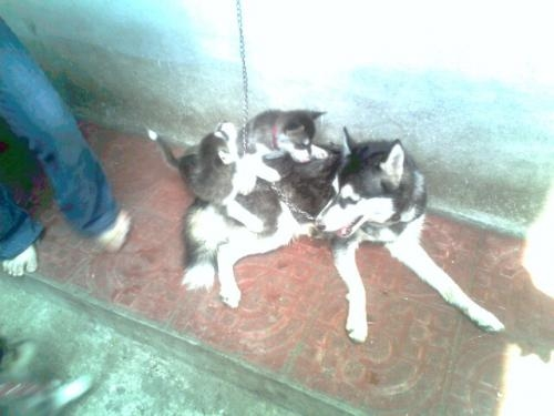 Fotos Venta Perros Siberian Husky Sonsonate Animales