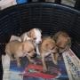 Lindos perritos Chihuaha