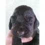 Cachorros cocker spaniel puros negros $60.00
