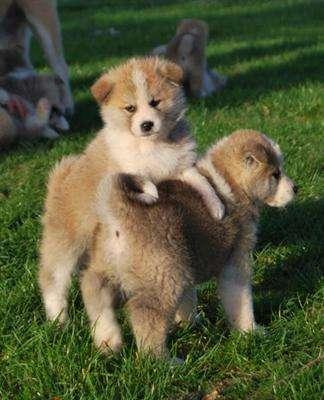 Cachorros akita magníficas a la venta