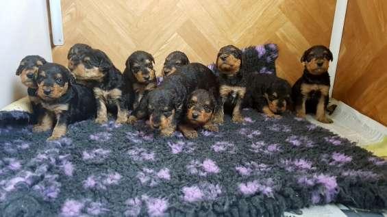 Hermosos perritos kc airedale