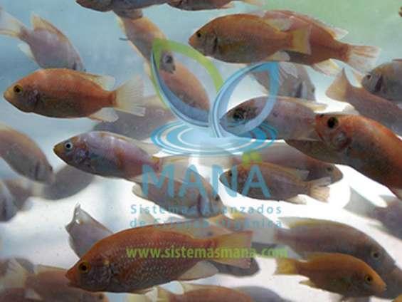 ¿cómo aumentar la producción acuícola?